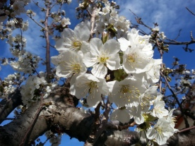 White flowers blue sky